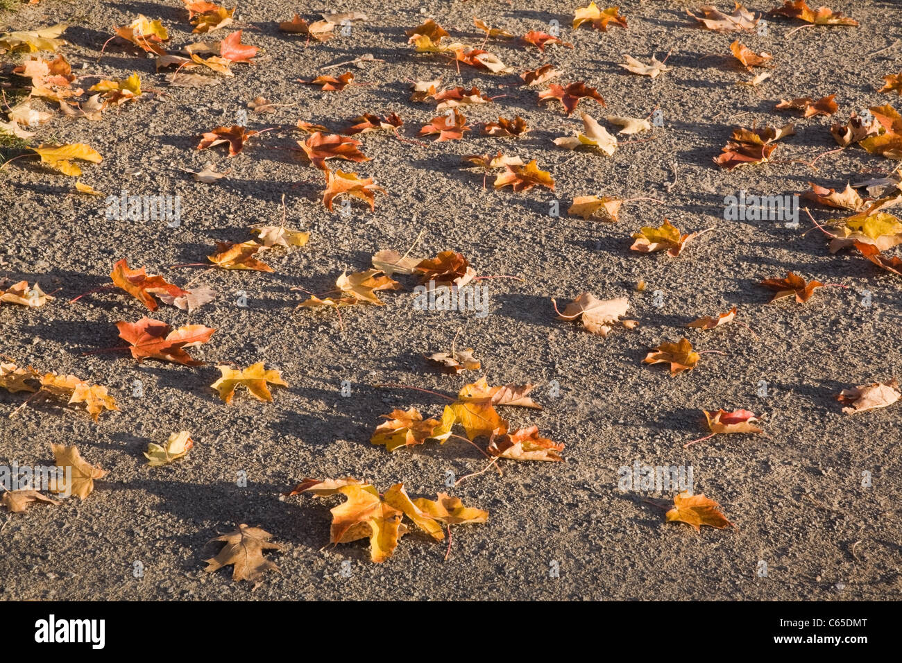 Autumn leaves on the ground - Stock Image