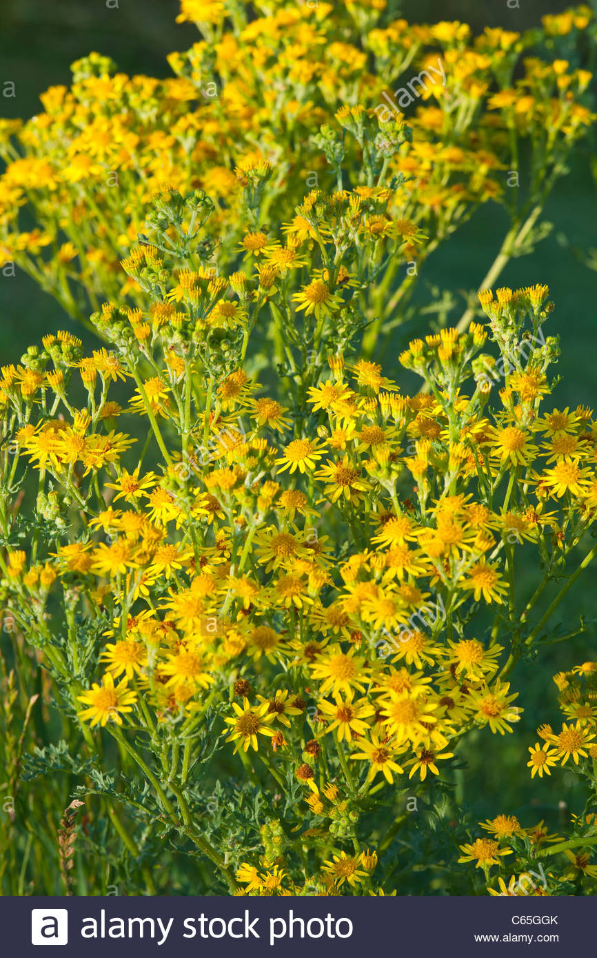 Ragwort Senecio Jacobaea Summer Flower Wild Native Senecio Jacobaea