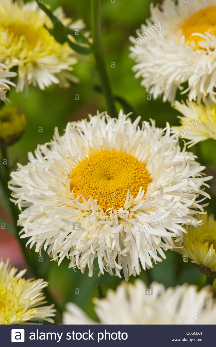 Leucanthemum x Real Galaxy - Stock Image