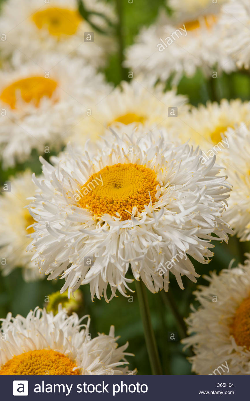 Leucanthemum x superbum Shasta Daisy Real Galaxy summer flower perennial white cream yellow July garden plant - Stock Image