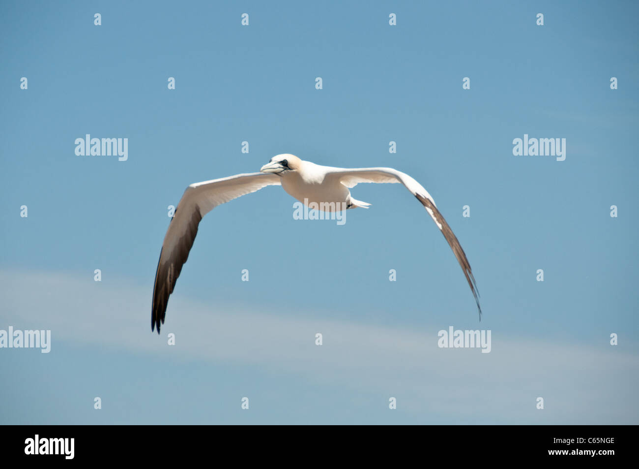 Flying northern gannet Stock Photo