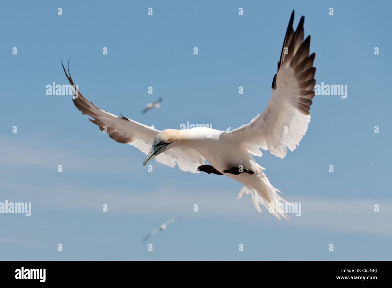 Flying northern gannet - Stock Image