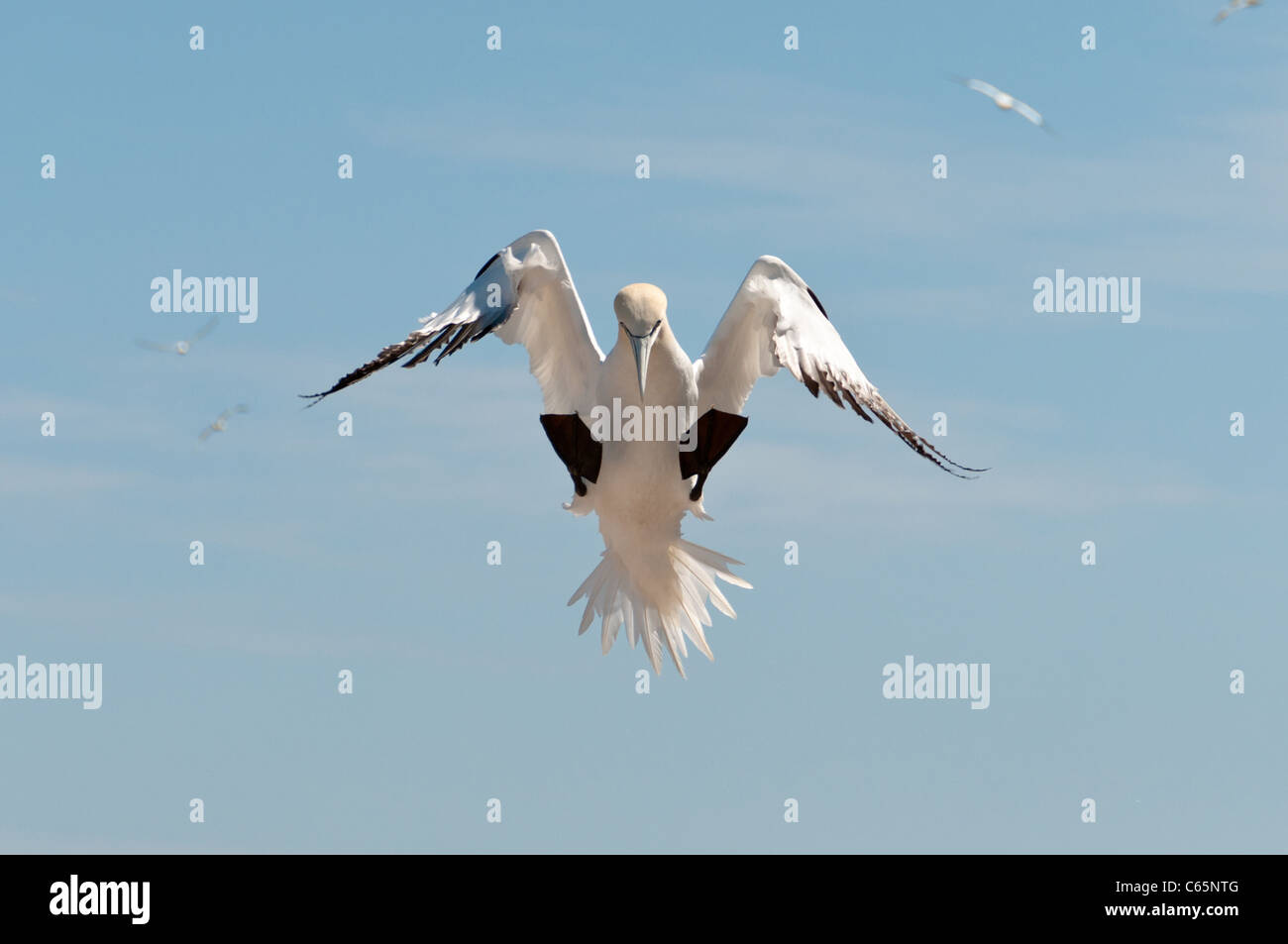Landing northern gannet - Stock Image