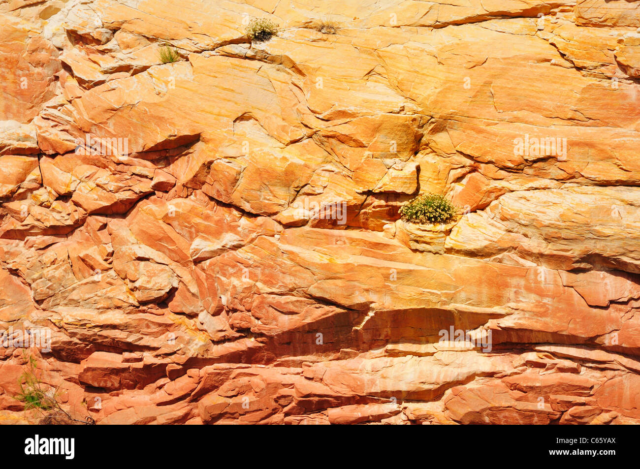 Green plants struggle for survival holding on in crevices within the sheer rock canyon walls of Capitol Reef National - Stock Image