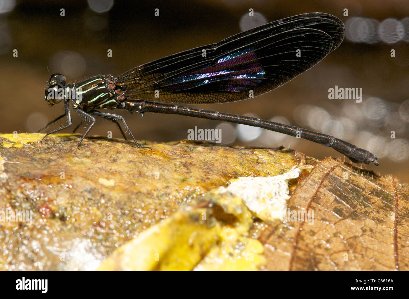 Sumatran endemic damsefly, in its rainforest habitat - Stock Image
