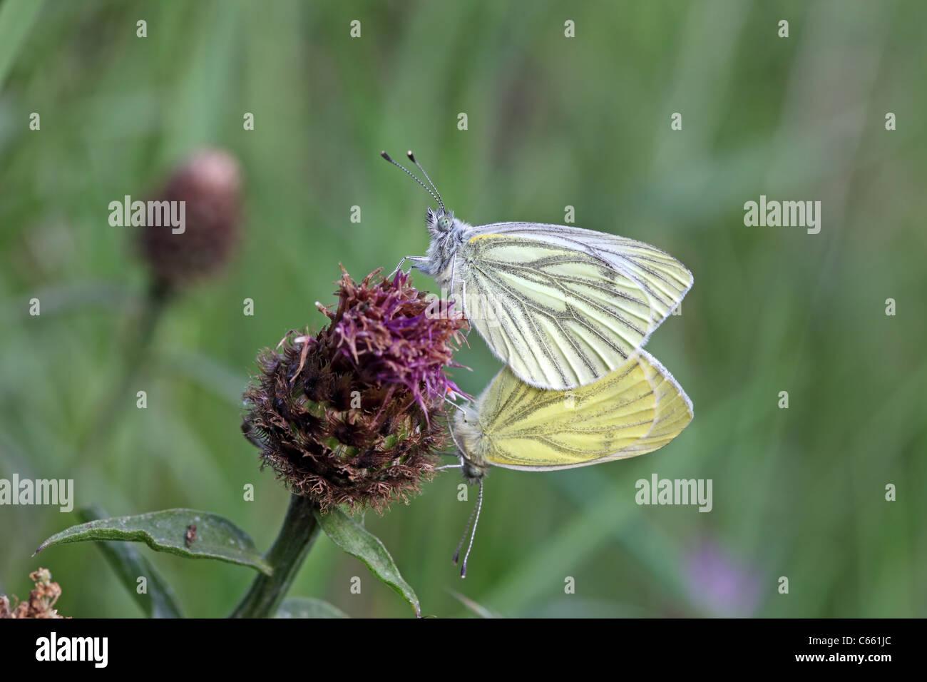 Green-veined White Pieris napi Butterflies Mating UK - Stock Image