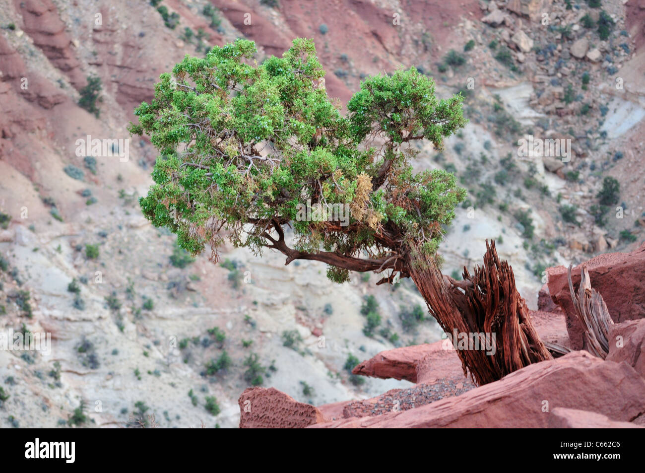 A juniper clings to life on a hillside in Capitol Reef National Park - Stock Image