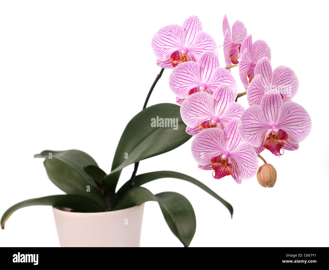 Flower symbol orchid plant stock photos flower symbol orchid plant orchid flower stock image mightylinksfo