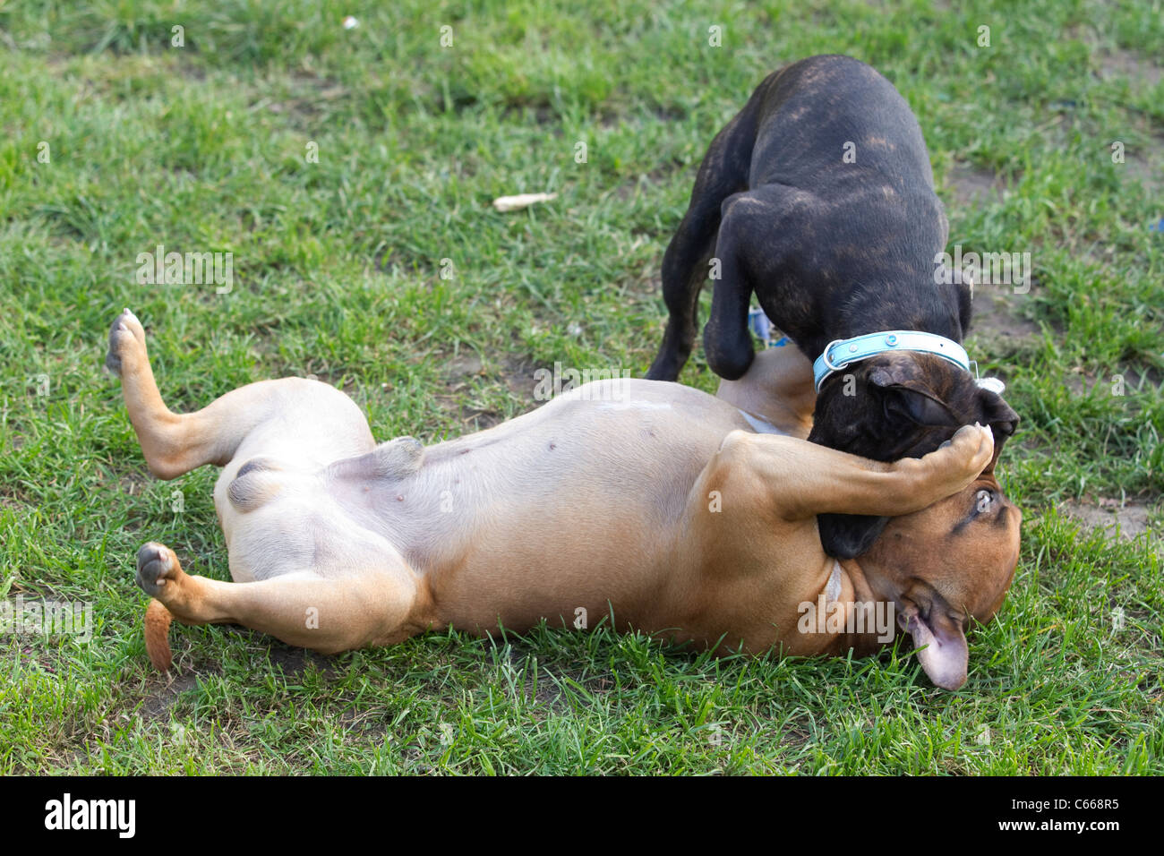 Staffordshire bull terriers fighting on a working class estate in Catford, South East London. Photo:Jeff Gilbert - Stock Image