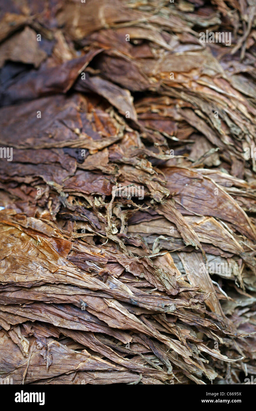 Dried tobacco leaves ready to be rolled into puros (cigars), at one of the numerous cigar factories in the city - Stock Image