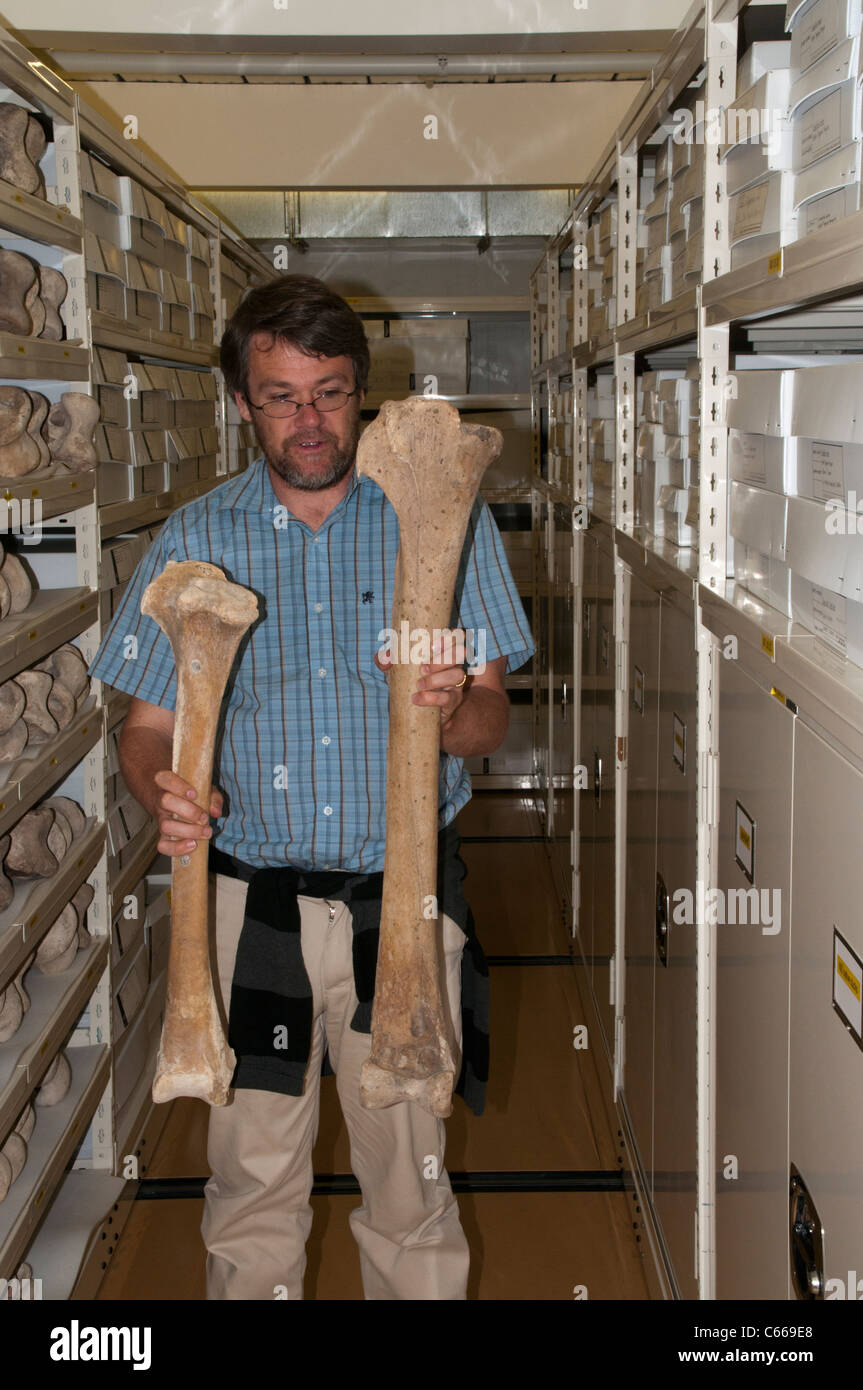 Paul Scofield is curator in the Canterbury Museum in Christchurch in New Zealand and showing the femurs of female - Stock Image