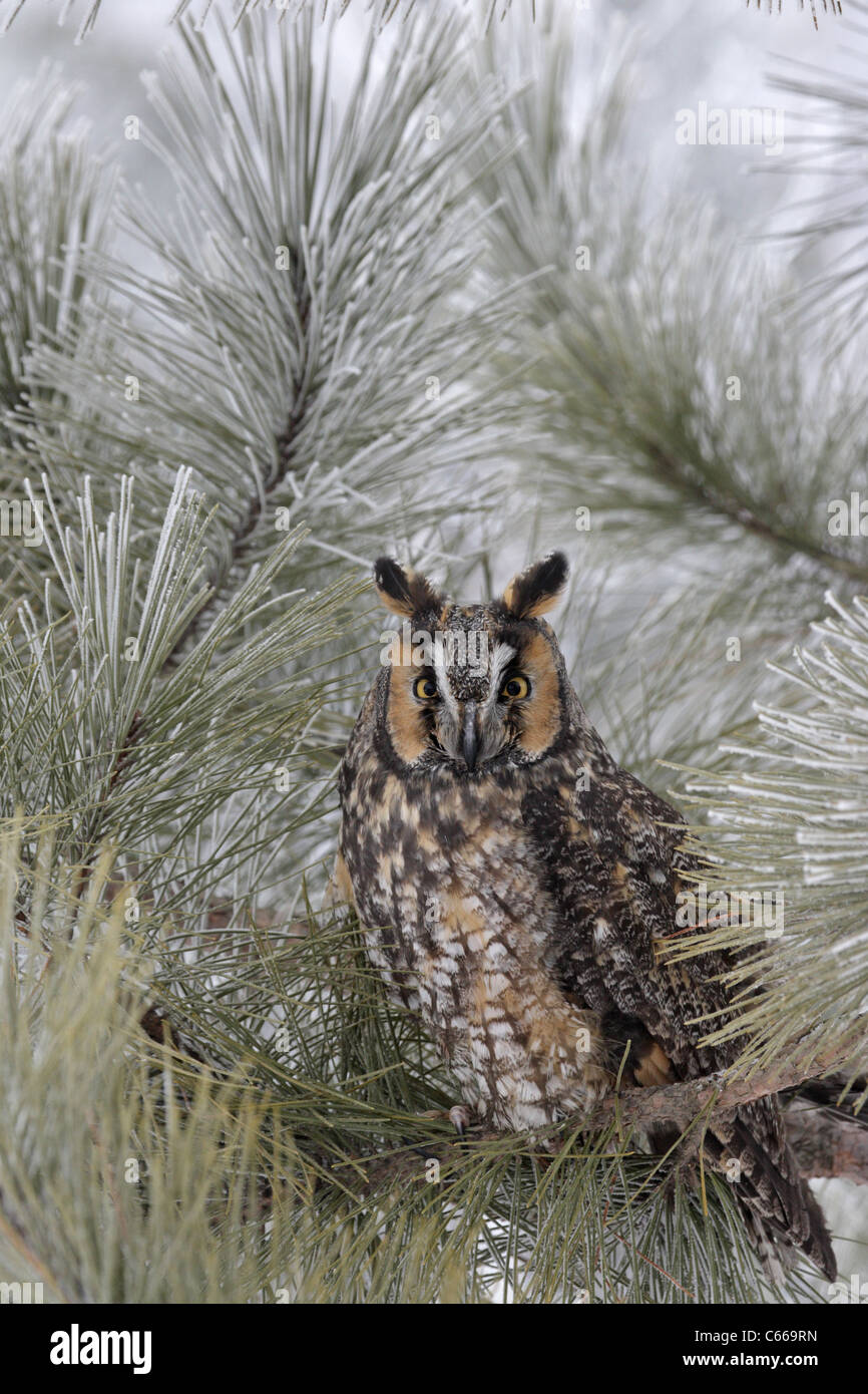 Long-Eared Owl Roosting in a Pine Tree - Stock Image