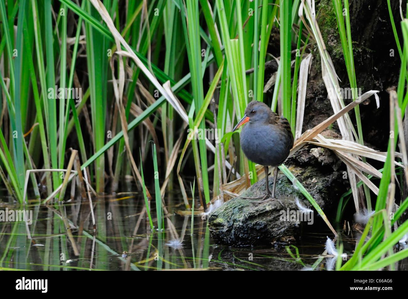 Water Rail Rallus aquaticus, Fowlmere RSPB Reserve, Cambridgeshire, England, UK - Stock Image