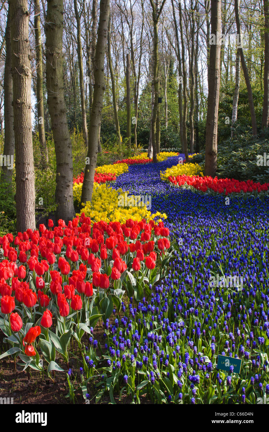 Garden Scene with Muscari 'LATIFOLIUM' and Tulip 'ROB VERLINDEN' and Narcissus 'PIPIT' - at Keukenhof Gardens in The Netherlands. Stock Photo