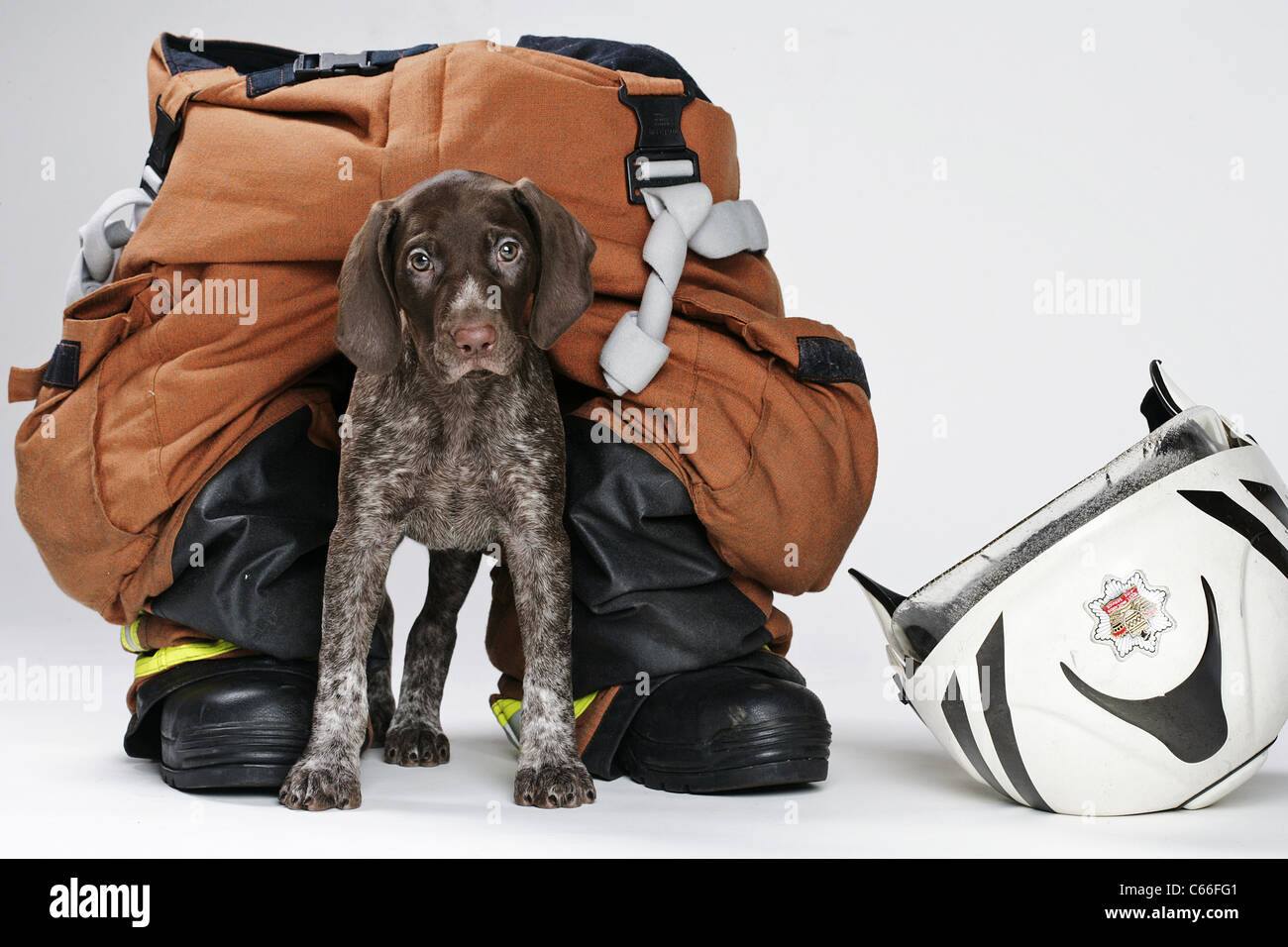 New Fire Service Investigation Puppy at 8 weeks old . - Stock Image