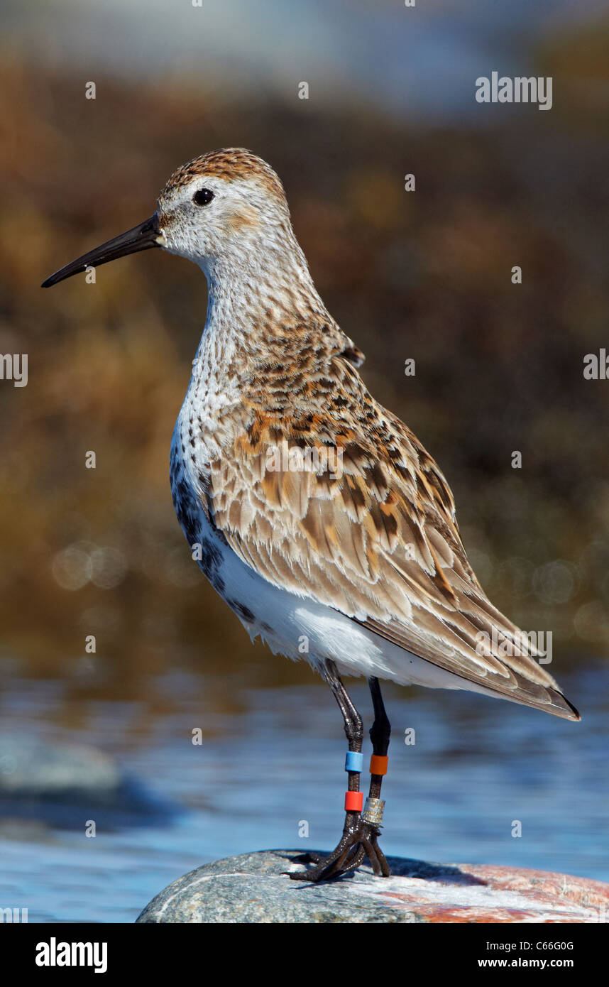 Dunlin (Calidris alpina schinzii). Ringed individual standing on a rock. - Stock Image