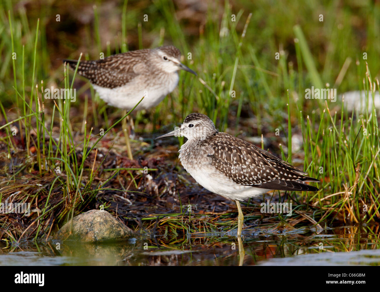 Wood Sandpiper (Tringa glareola). Two juveniles standing on a shore. - Stock Image