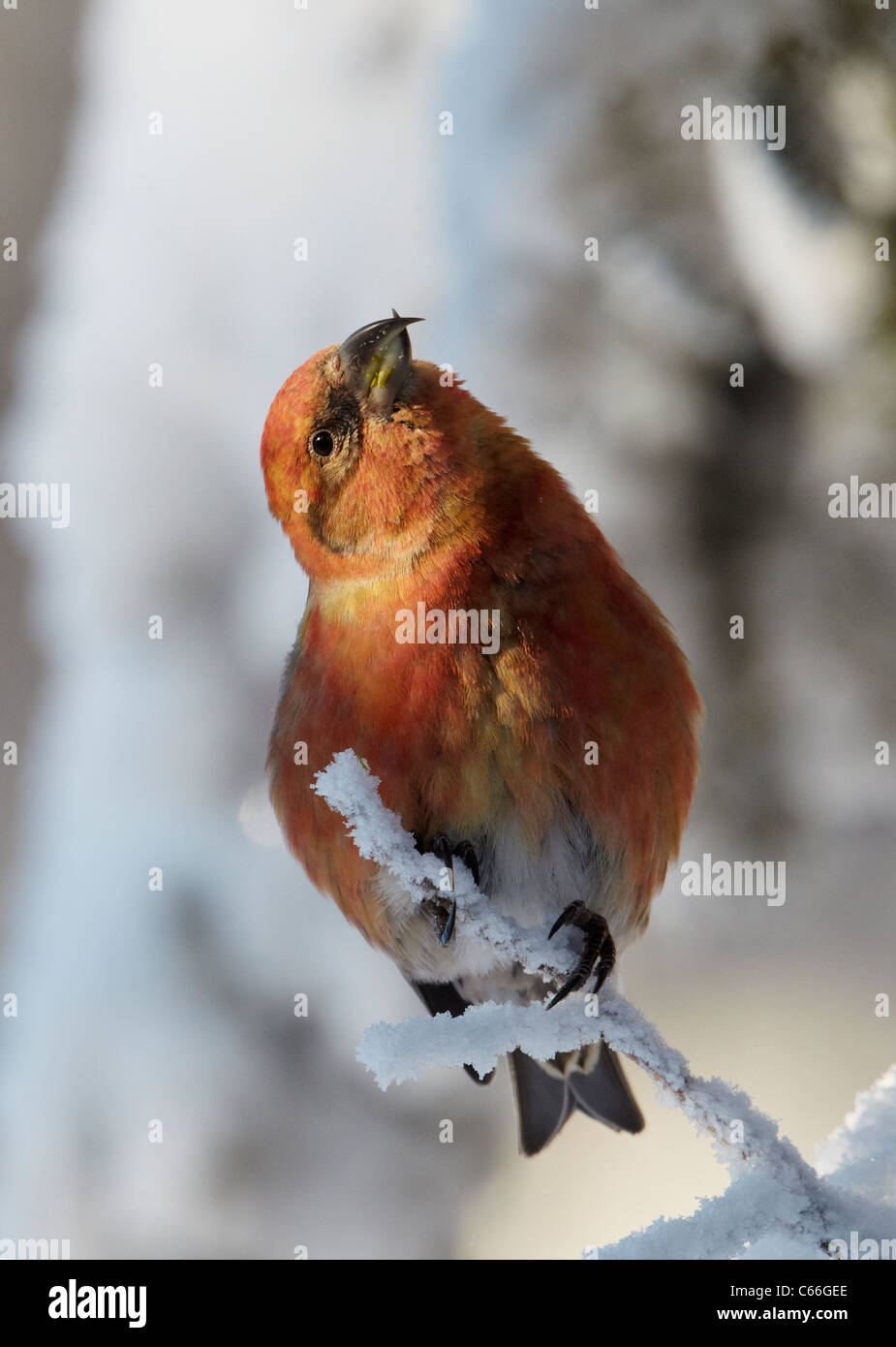Common Crossbill, Red Crossbill (Loxia curvirostra). Male looking up while perched on a snowy twig. - Stock Image