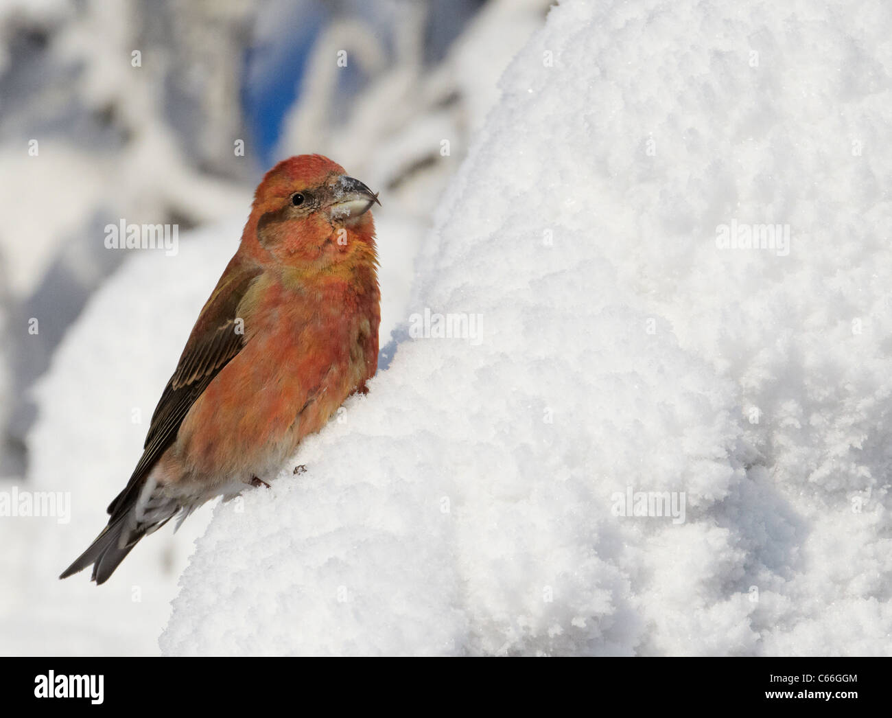 Common Crossbill, Red Crossbill (Loxia curvirostra). Male perched in a snowy spruce. - Stock Image