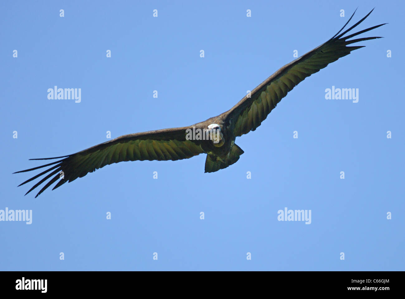 Hooded Vulture (Necrosyrtes monachus) flying in the Gambia - Stock Image