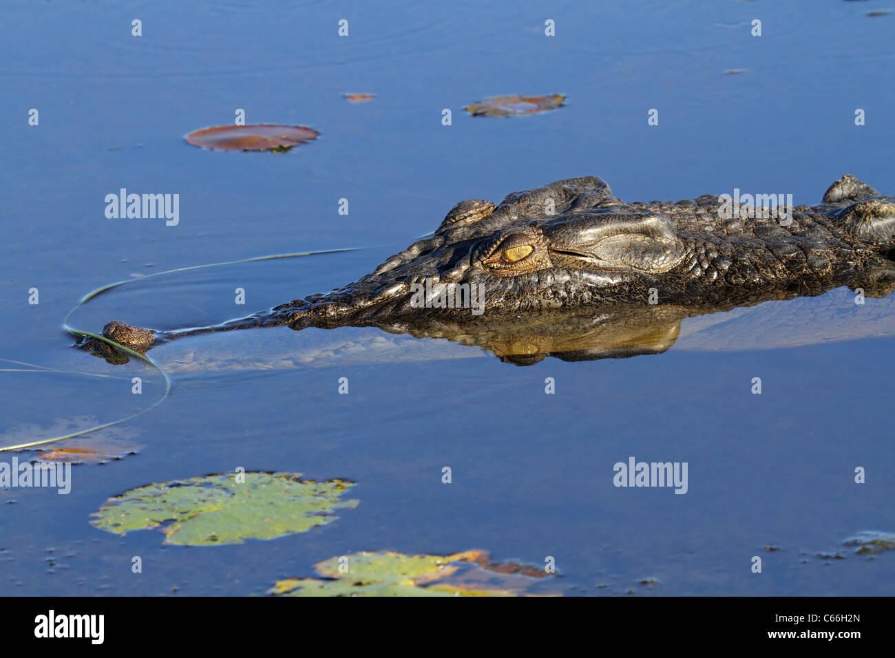 Large saltwater crocodile, Yellow water billabong, Kakadu National Park, Northern Territory, Australia Stock Photo