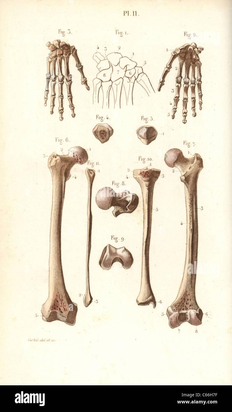 Hand Hip And Leg Bones Femur And Tibia Stock Photo 38253923 Alamy