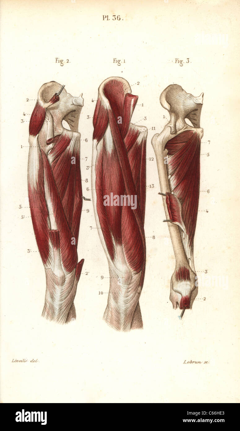 Muscles and tendons of the thigh Stock Photo: 38254107 - Alamy