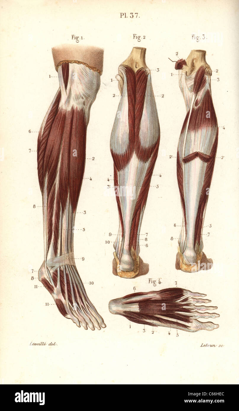 Muscles And Tendons Of The Leg And Foot Stock Photo 38254116 Alamy