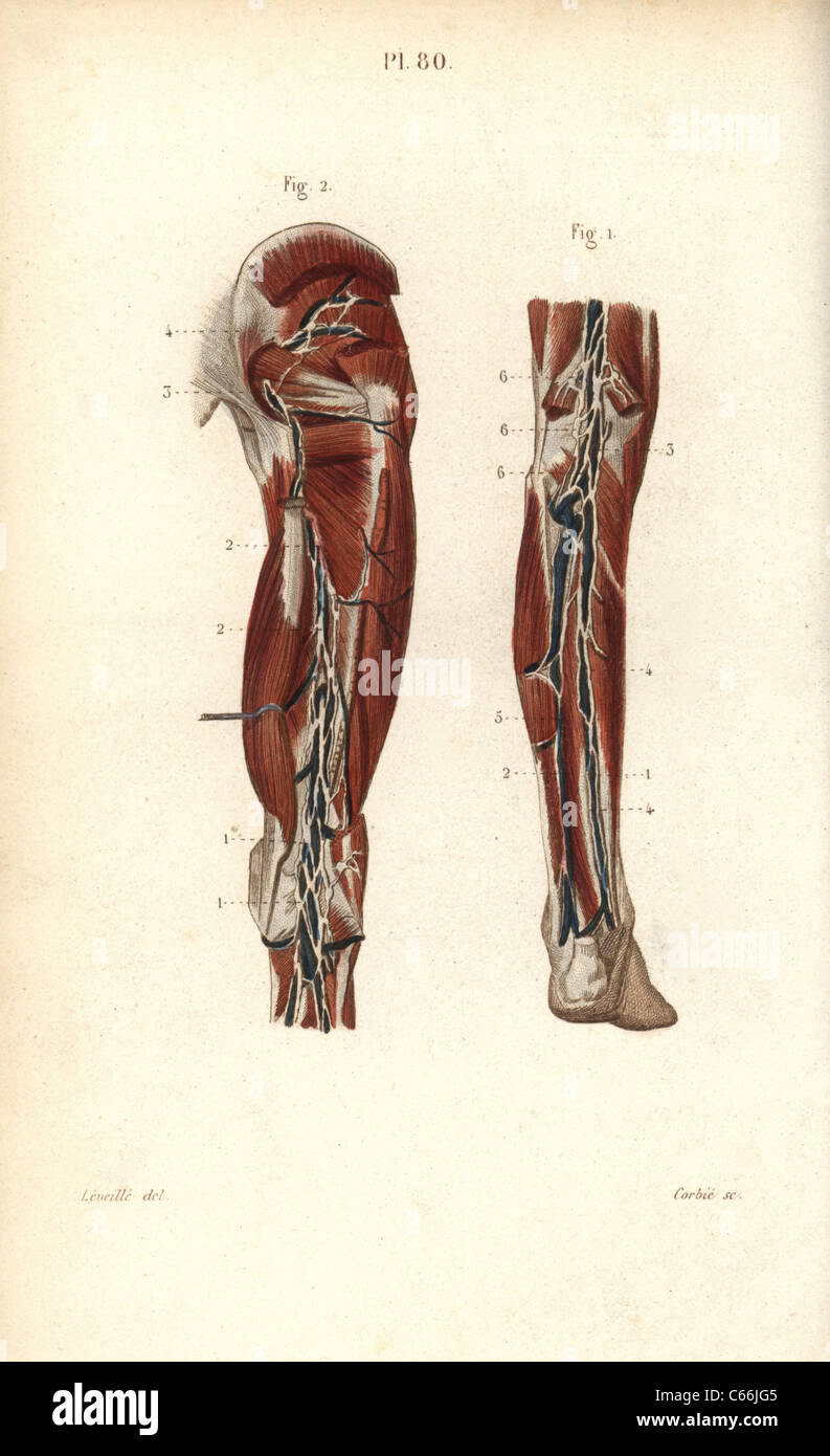 Lymph nodes and vessels deep in the back of the leg. - Stock Image