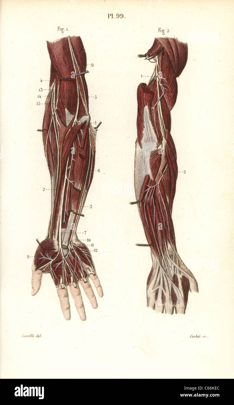 Deep nervous system to the arm and hand Stock Photo: 38255684 - Alamy