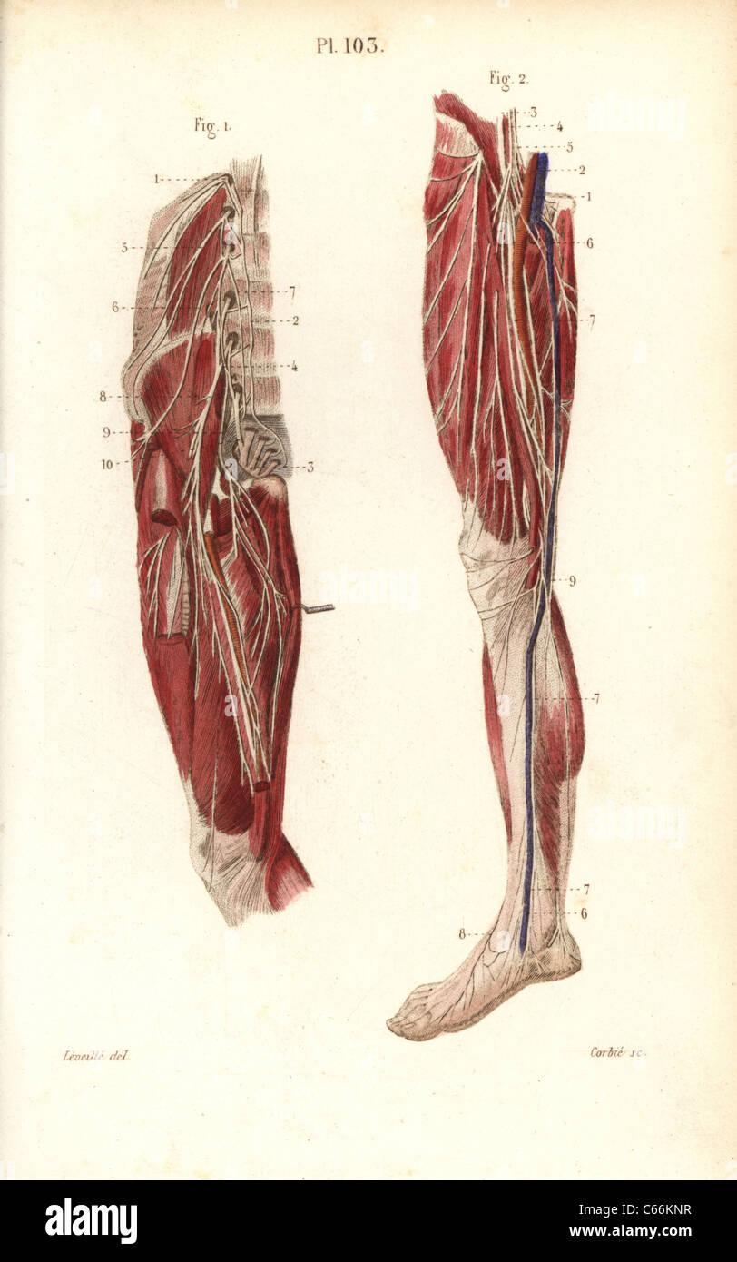 Lumbar Plexus And Crural Nerves Stock Photo 38255891 Alamy