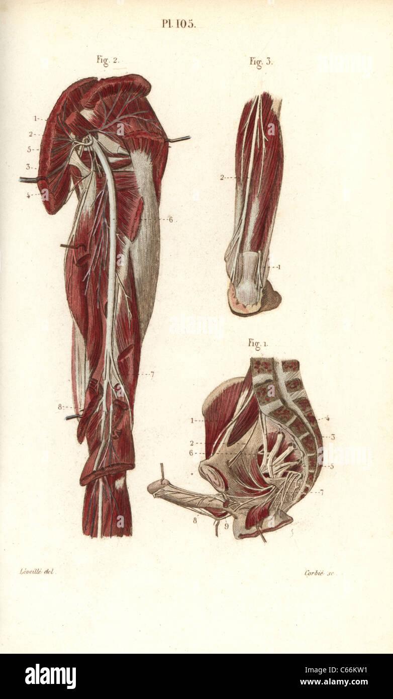 Sciatic nerve and the sacral plexus Stock Photo: 38255981 - Alamy