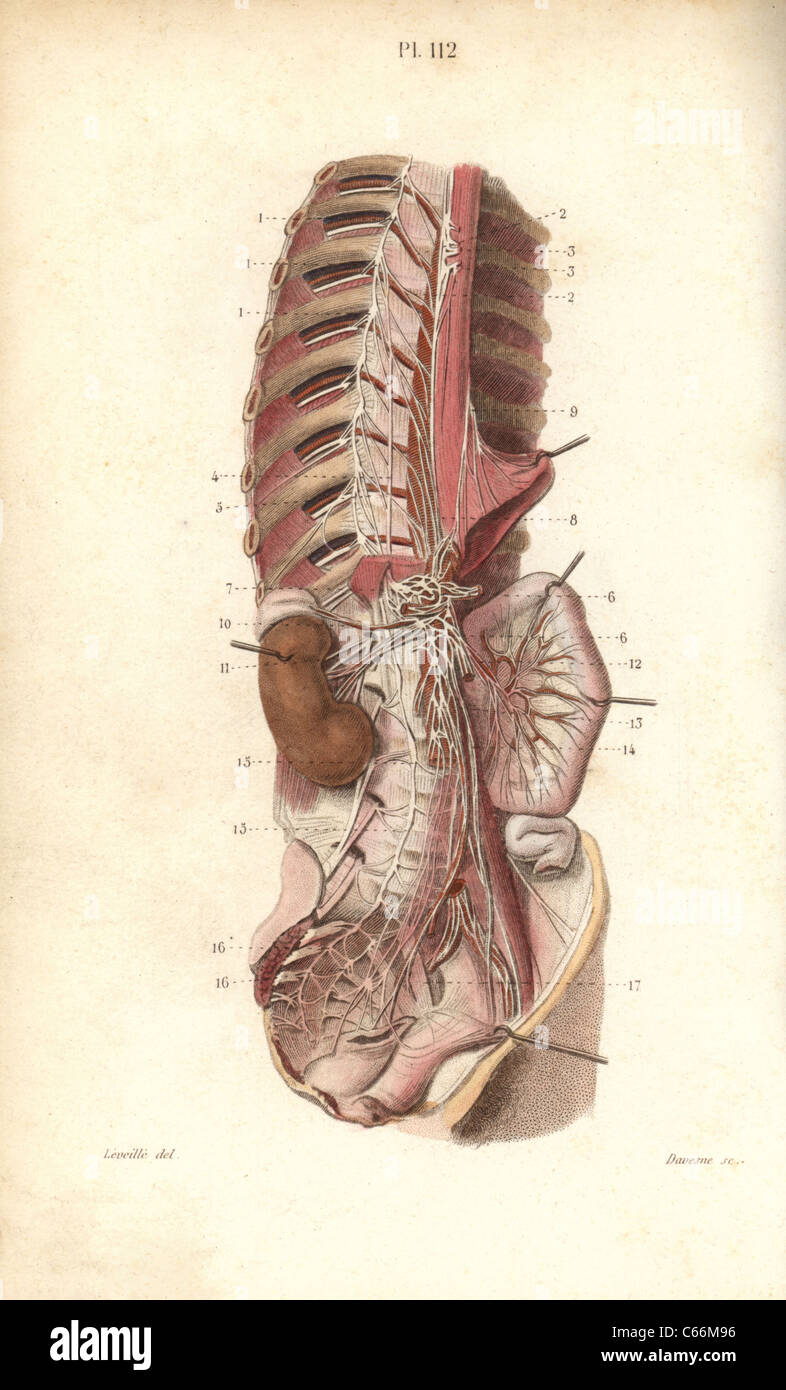 Sympathetic nervous system in the thoracic, lumbar and sacral plexus ...