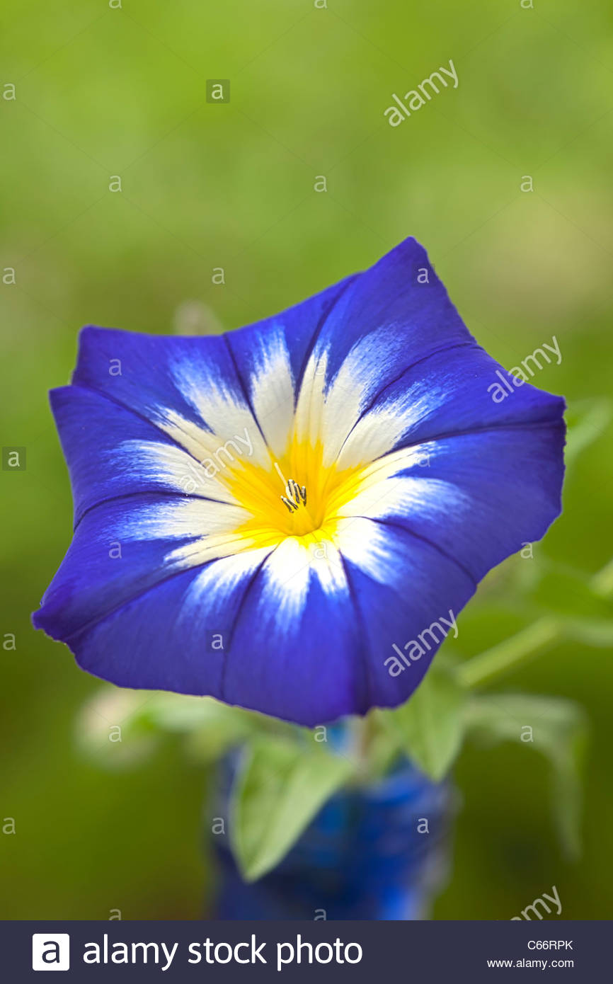 dwarf morning glory Convolvulus tricolor minor tricolor summer flower annual yellow white blue purple garden plant - Stock Image