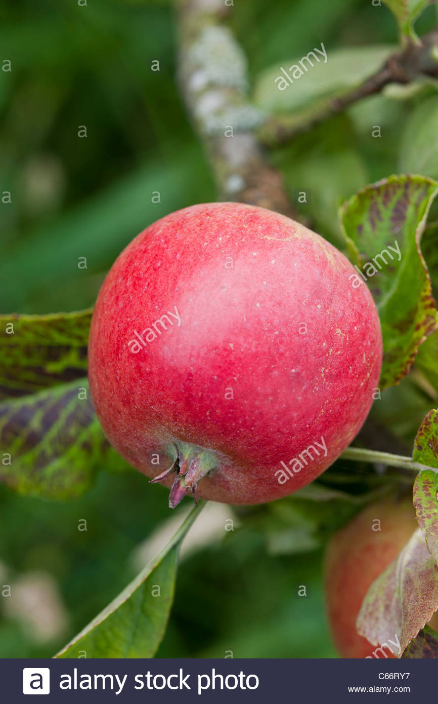Apple Jupiter small red fruit summer dwarf root stock small organic home grown edible tree garden plant - Stock Image