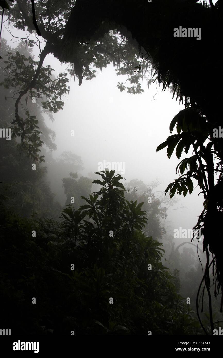 Rainforest in the mist, Virunga mountains - Stock Image