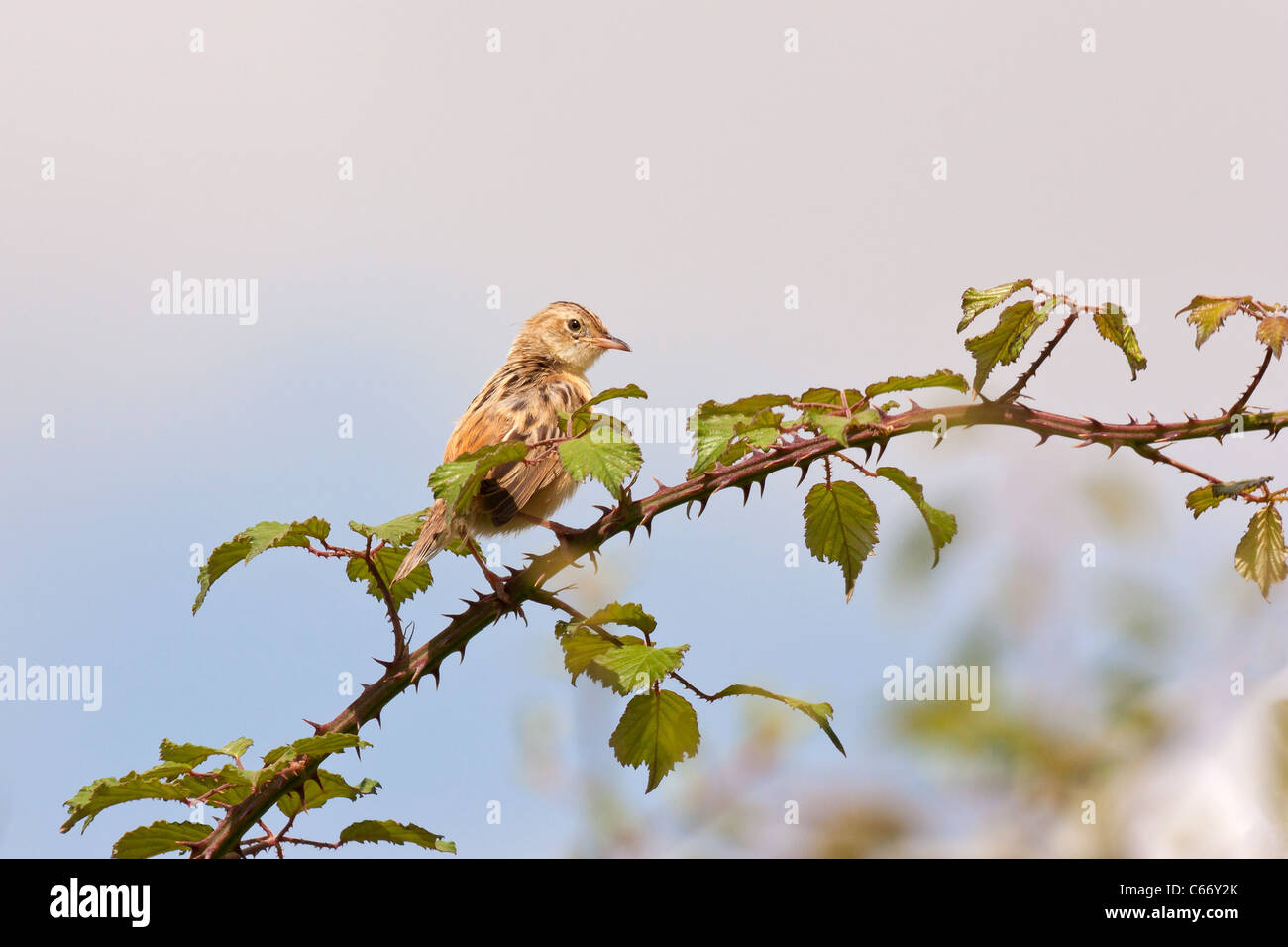 Streaked Fantail Warbler (Cisticola juncidis) on a branc against blue sky - Stock Image