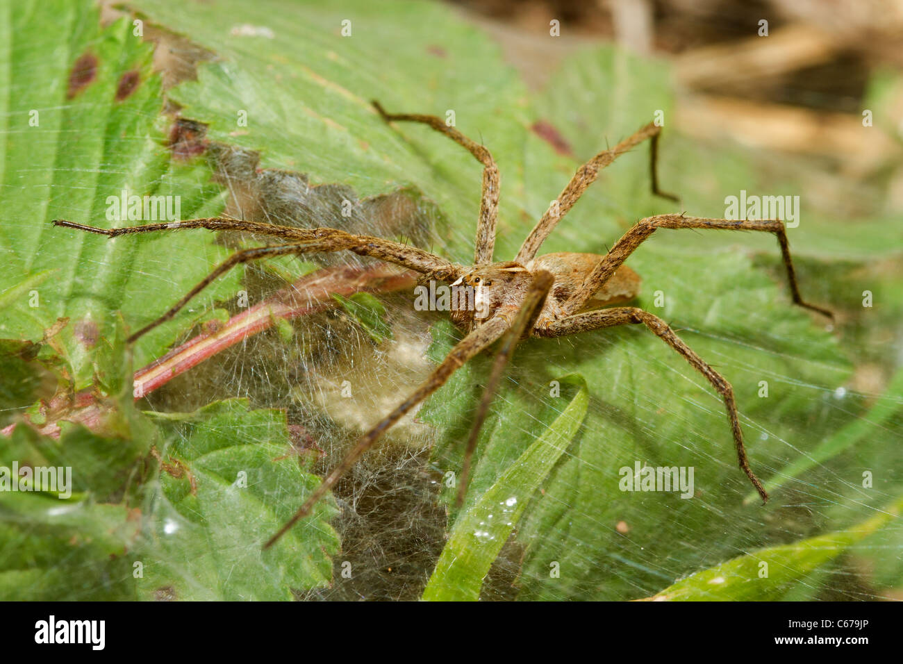 Nursery-web Spider in Devon - Stock Image