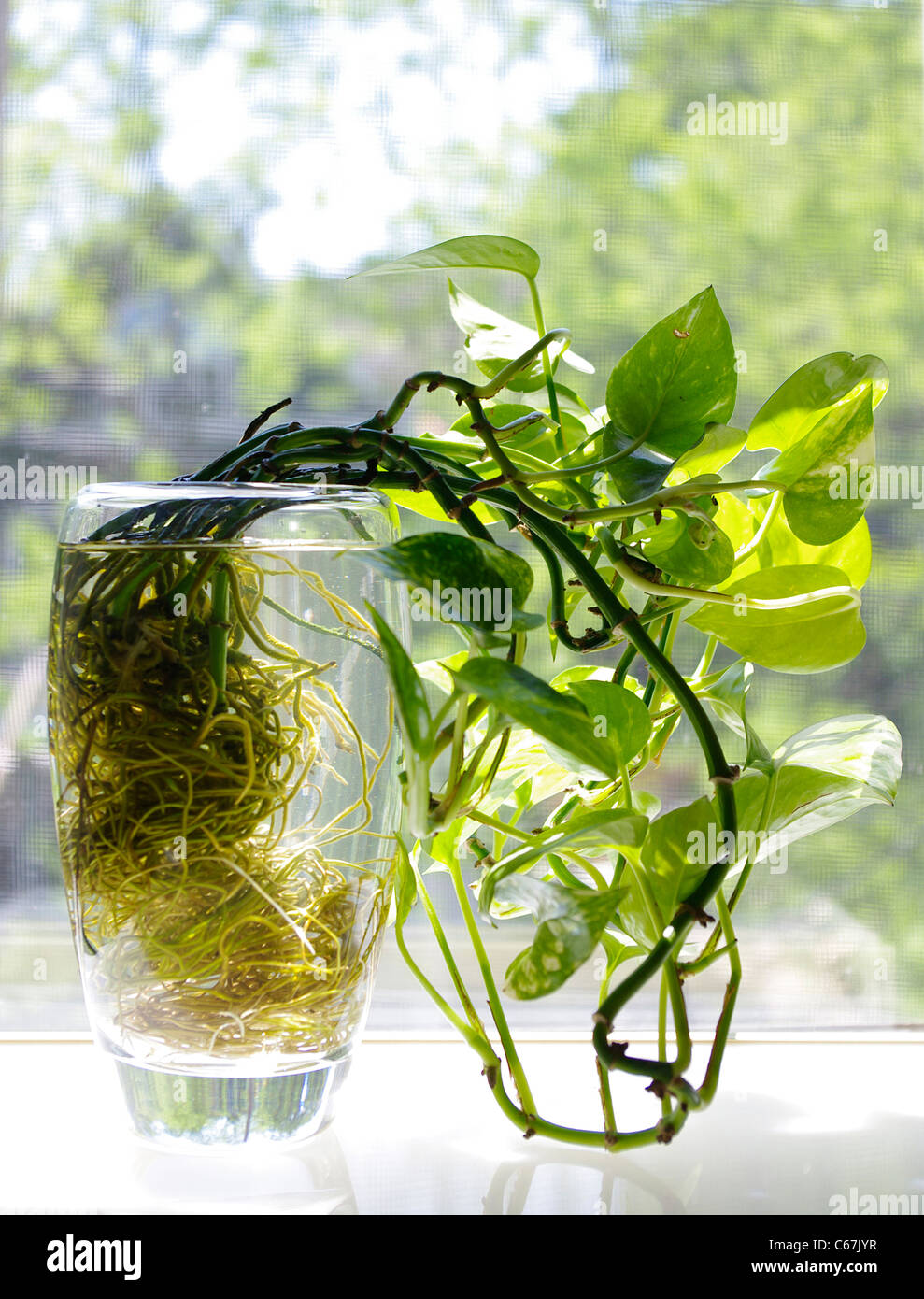 Common veriegated heart leaf Philodendron rooted hydroponically (Philodendron scandens oxycardium) - Stock Image