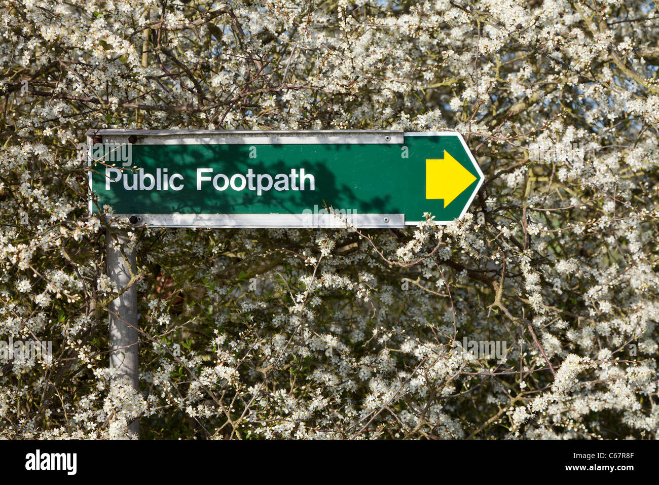 Metal public footpath direction sign yellow arrow fresh spring white blossom - Stock Image