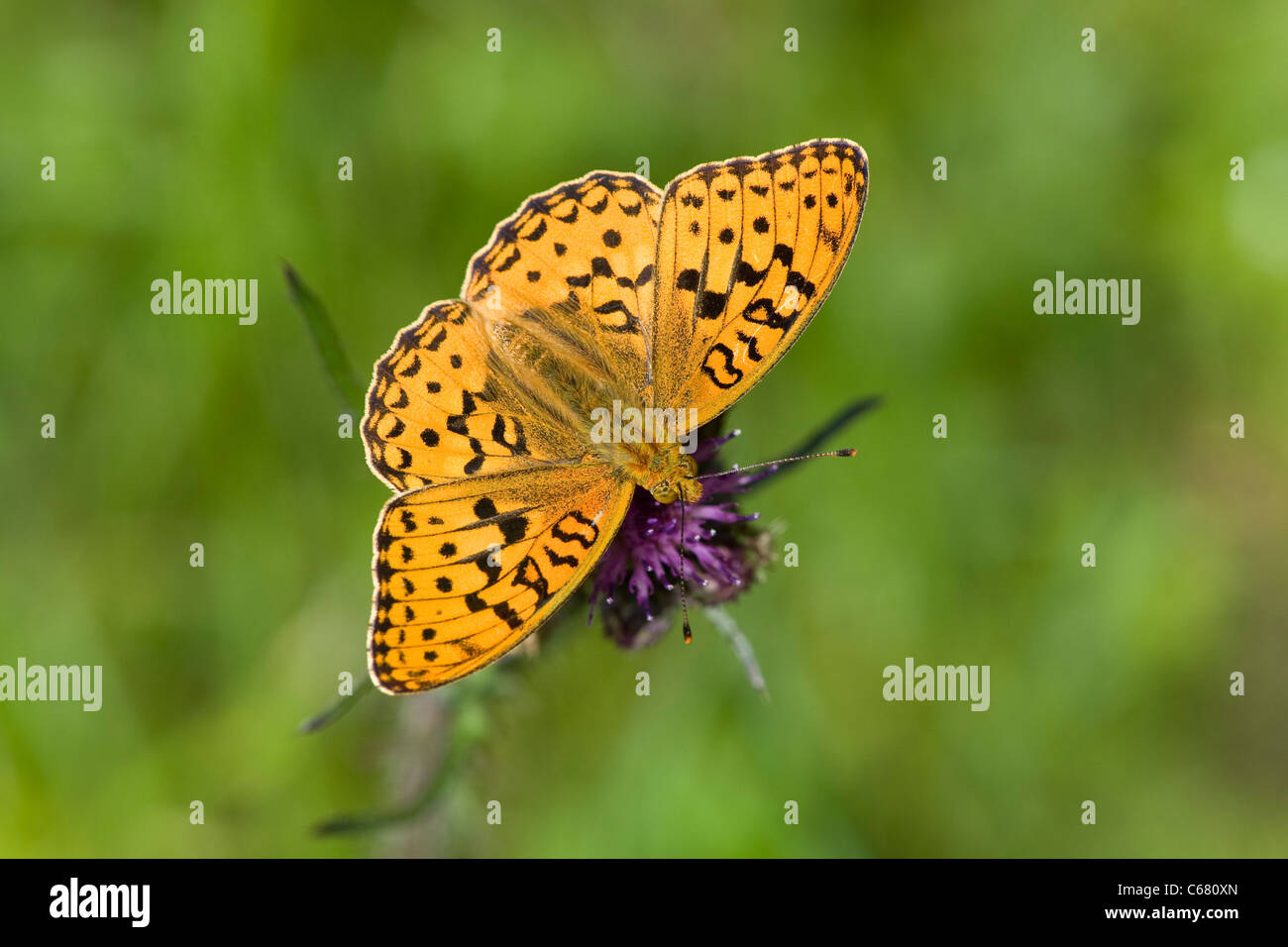 High Brown Fritillary (Argynnis adippe) feeding on thistle flowerhead - Stock Image
