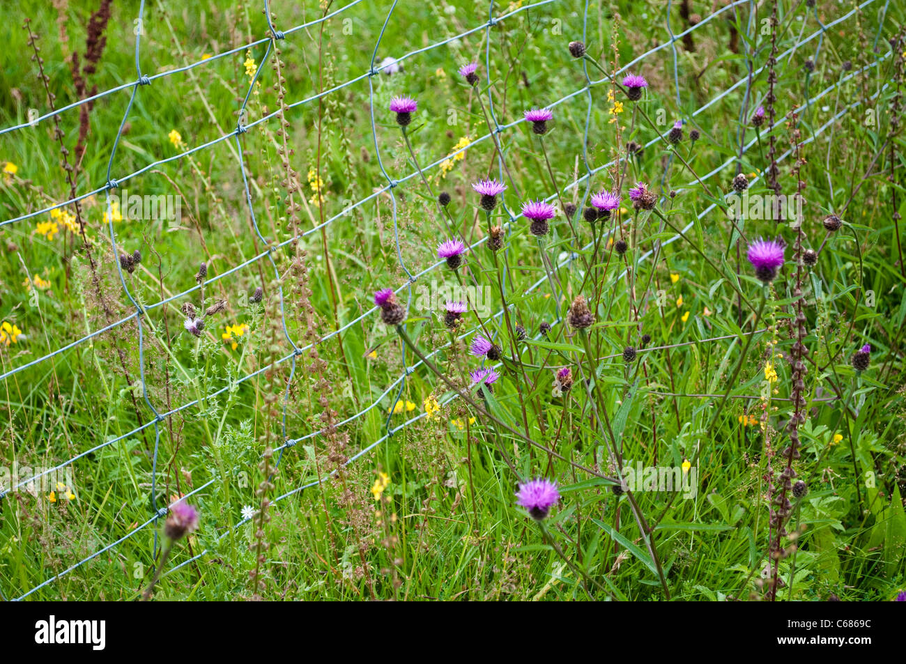 Teasel flowers and wire fence - Stock Image