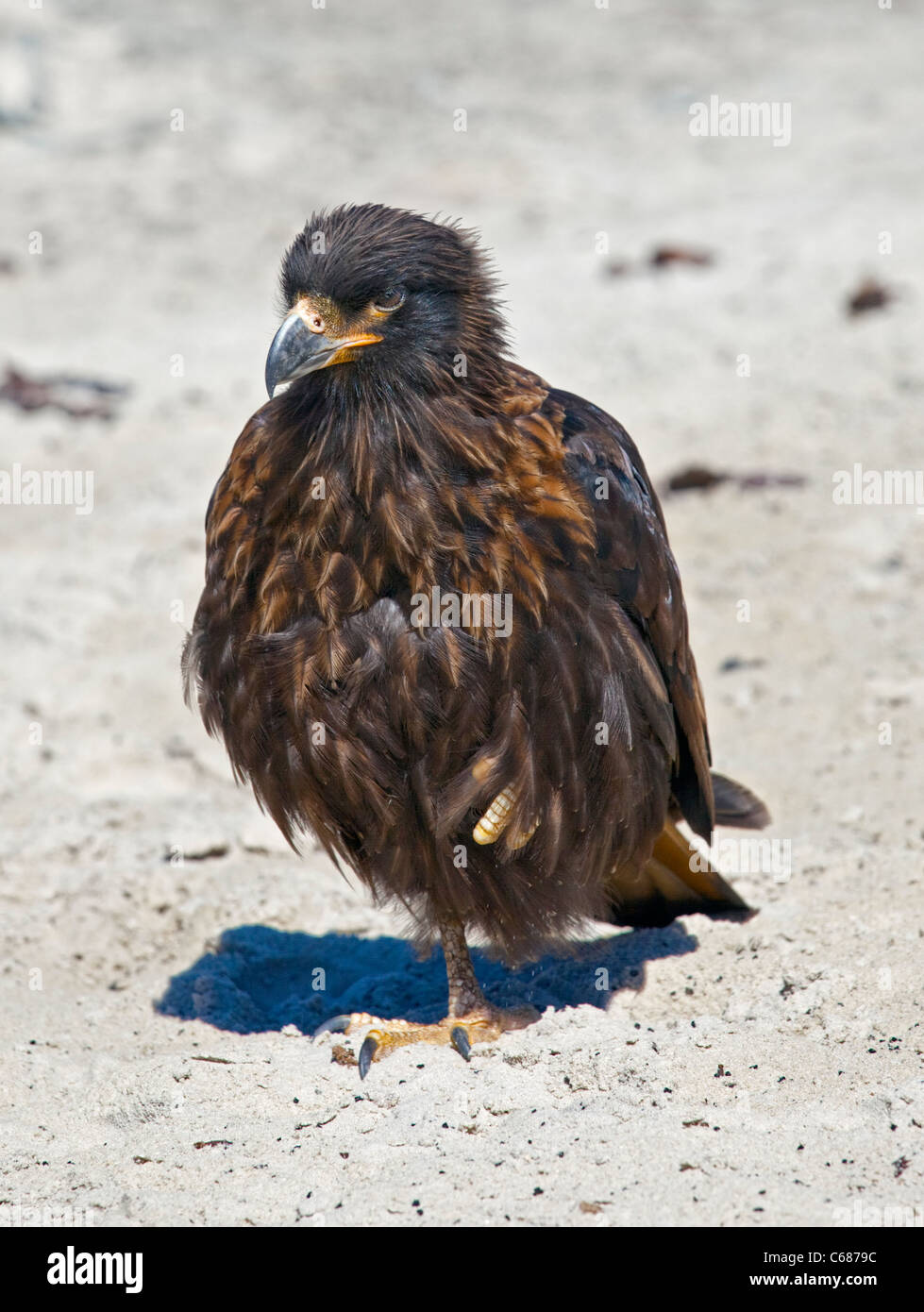 Striated Caracara (phalcoboenus australis), Saunders Island, Falklands Stock Photo