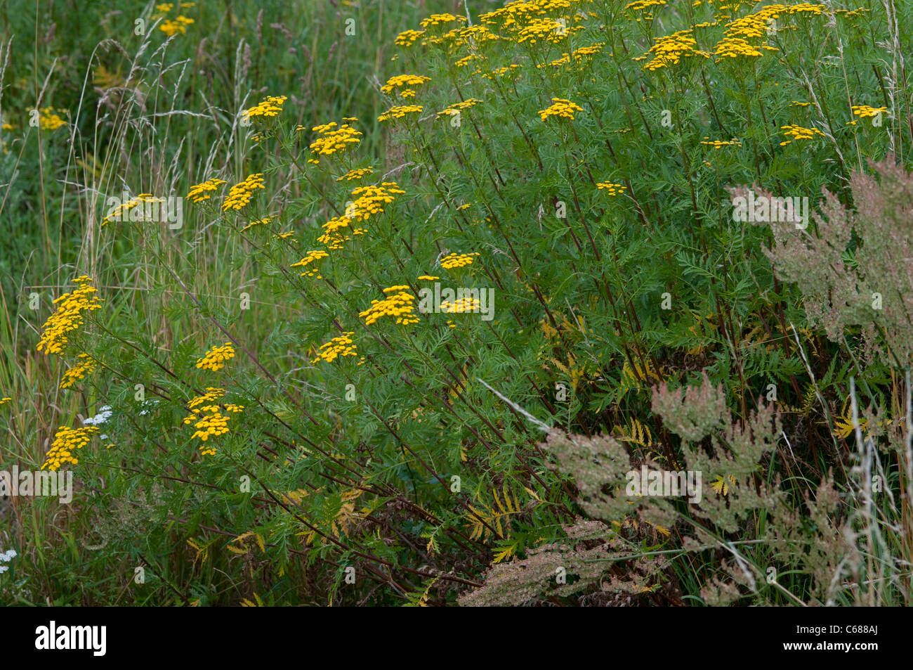 Tansy ( Tanacetum vulgare) is a plant of the aster family - Stock Image