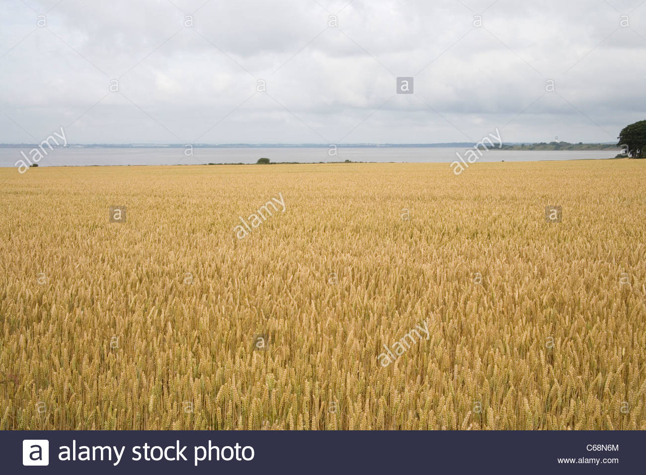 crops growing at hale head and the banks of the mersey river - Stock Image