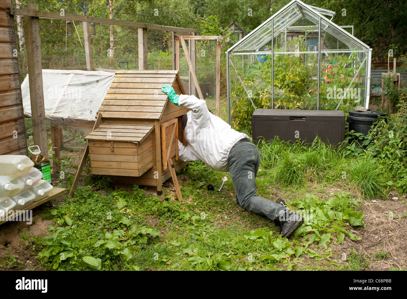 a local authority pest control officer removing a wasp nest from a chicken shed on an allotment garden, uk - Stock Image
