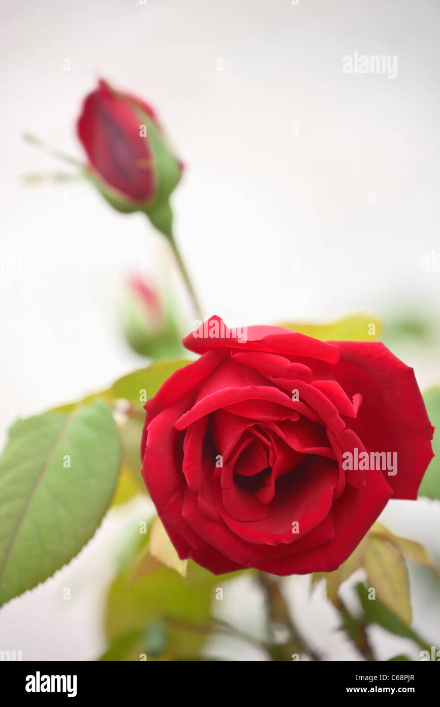 Rose and rosebud - Stock Image