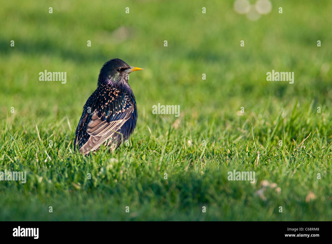 Sturnus vulgaris, Common Starling in the evening light, is searching for food on the ground. - Stock Image
