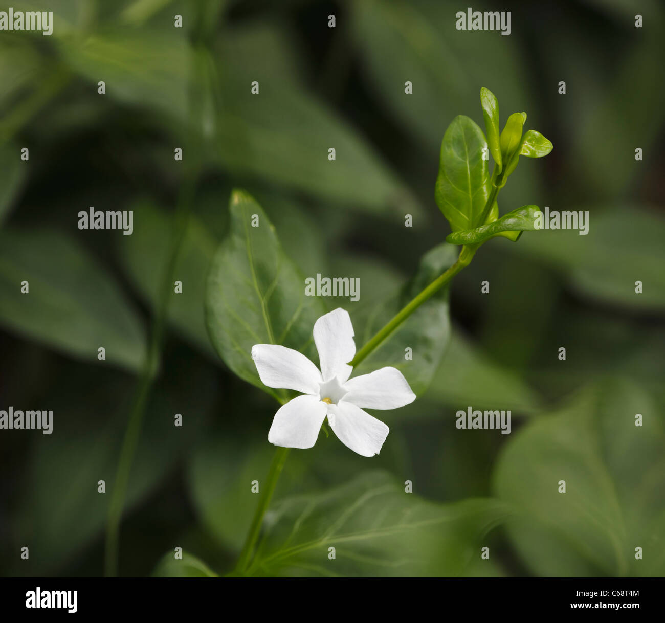 Single white wildflower amongst forest greenery. - Stock Image