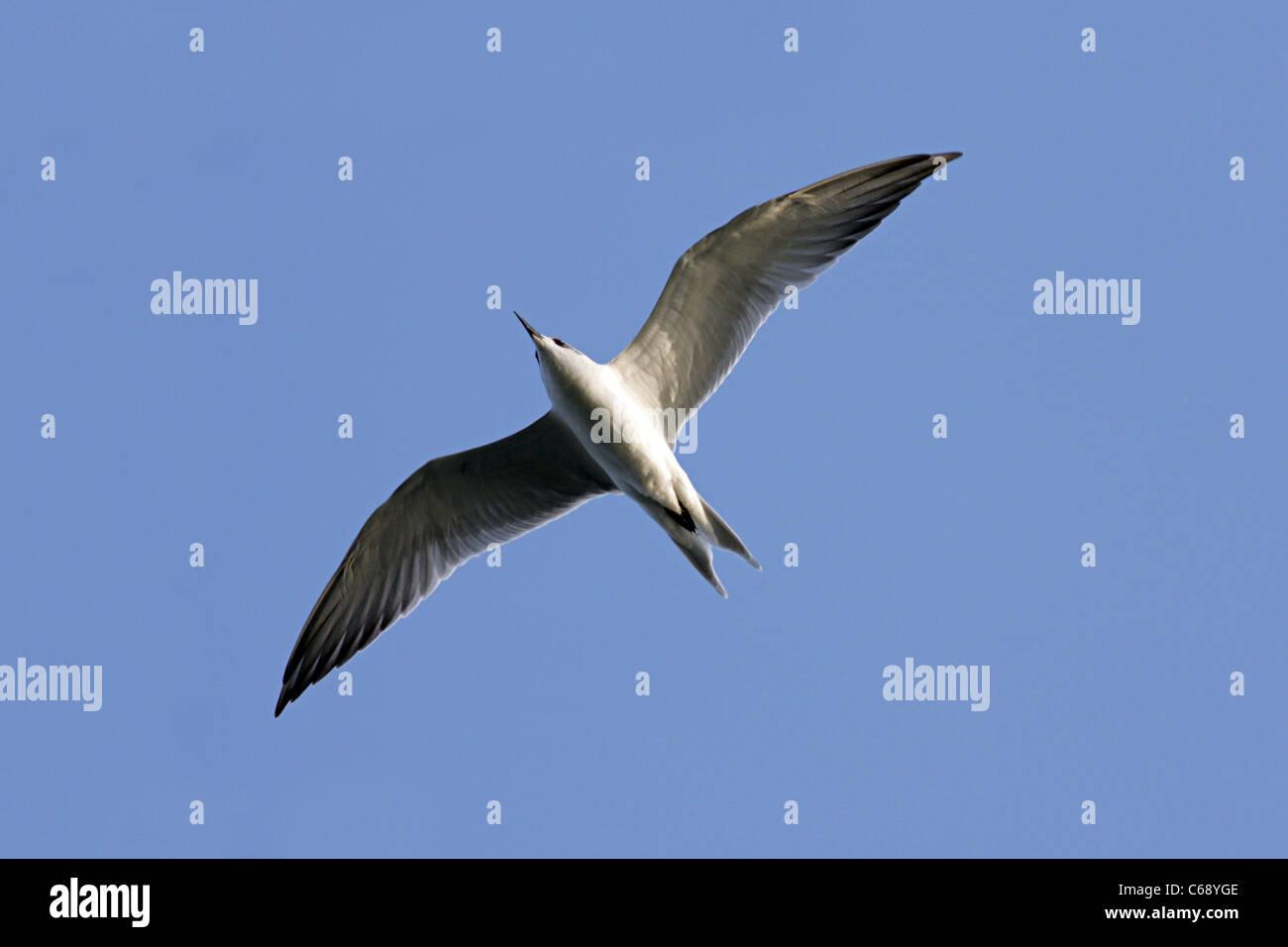 Gull-billed Tern, 1st winter (Gelochelidon nilotica) At, Lakhota lake, Jamnagar, Gujarat - Stock Image
